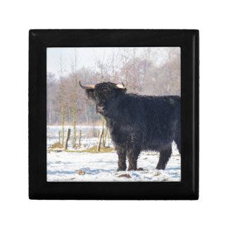 Black scottish highlander cow in winter snow gift box