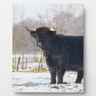 Black scottish highlander cow in winter snow plaque