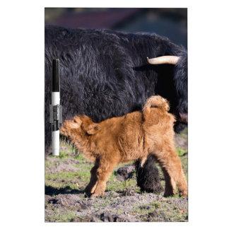 Black Scottish highlander mother cow with drinking Dry Erase Board