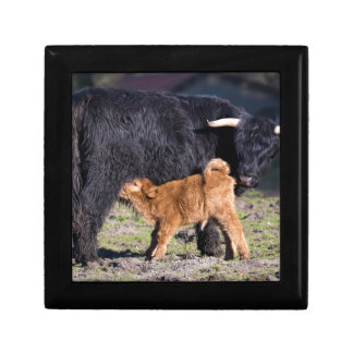 Black Scottish highlander mother cow with drinking Gift Box