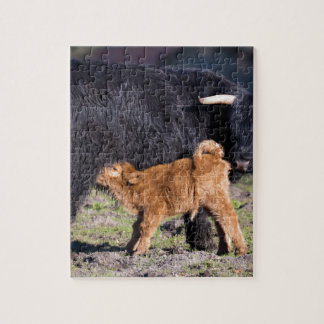 Black Scottish highlander mother cow with drinking Jigsaw Puzzle