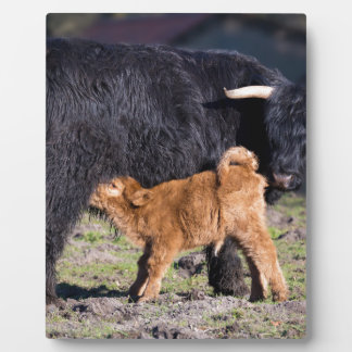 Black Scottish highlander mother cow with drinking Plaque