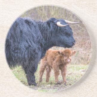 Black Scottish highlander mother cow with newborn Coaster