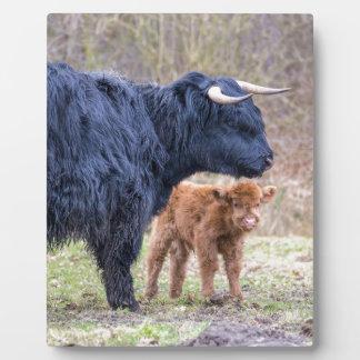 Black Scottish highlander mother cow with newborn Plaque