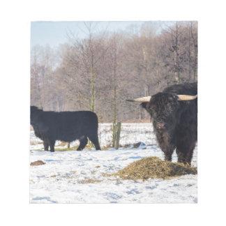 Black scottish highlanders in winter snow notepad