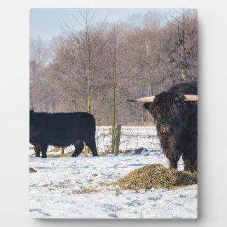 Black scottish highlanders in winter snow plaque