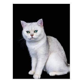 Black silver shaded British short hair cat Postcard