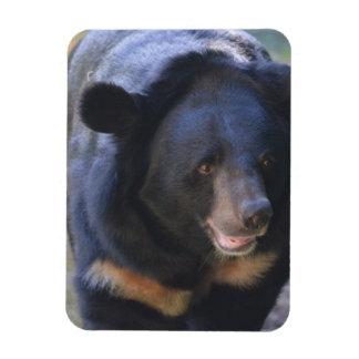 Black Spectacled Bear Rectangular Photo Magnet