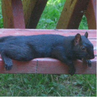 Black Squirrel Standing Photo Sculpture