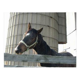 Black Stallion/Horse Postcard