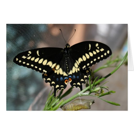 """""""Black Swallowtail Butterfly"""" Greeting Cards"""