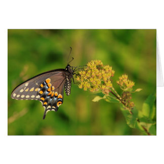 Black Swallowtail Butterfly Cards