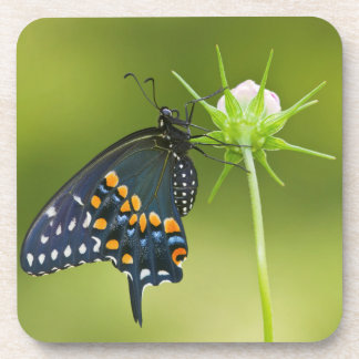 Black Swallowtail butterfly Coasters