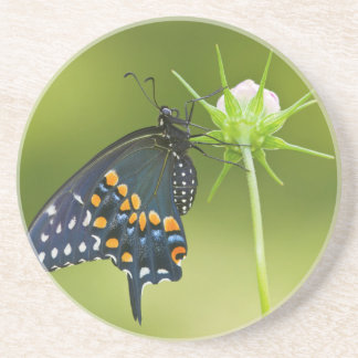 Black Swallowtail butterfly Drink Coaster