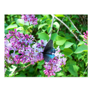 Black Swallowtail Butterfly Lilac Postcard