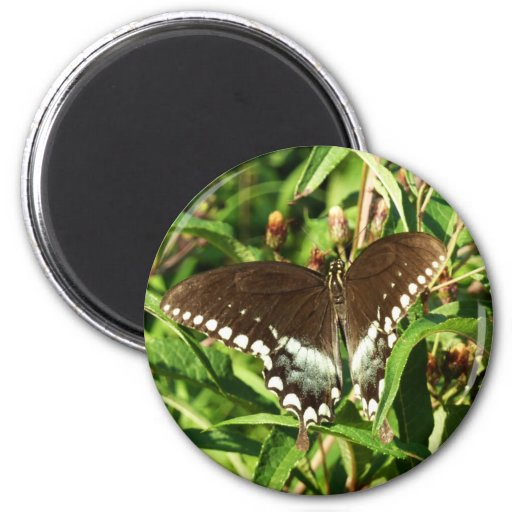 Black Swallowtail Butterfly Fridge Magnets