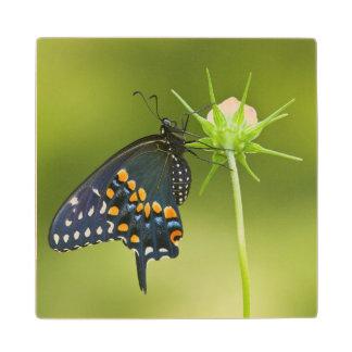 Black Swallowtail butterfly Maple Wood Coaster