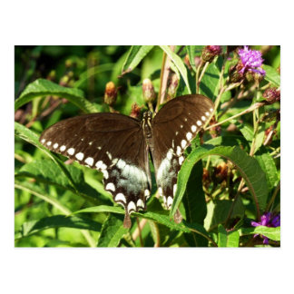 Black Swallowtail Butterfly Nature Photography Postcard