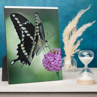 Black Swallowtail Butterfly on a Pink Flower Photo Plaques