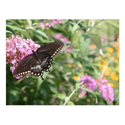 Black Swallowtail Butterfly on Butterfly Bush Post Cards