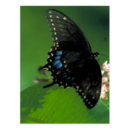 Black SwallowTail Butterfly on Flower Postcards