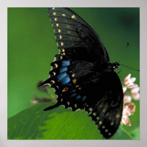 Black SwallowTail Butterfly on Flower Poster