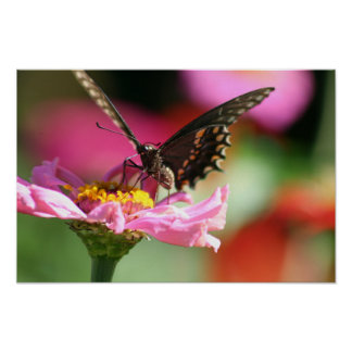 Black Swallowtail Butterfly on Pink Zinnia Poster