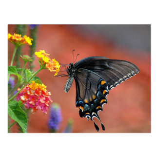 Black Swallowtail Butterfly Postcard