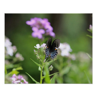 Black swallowtail butterfly poster