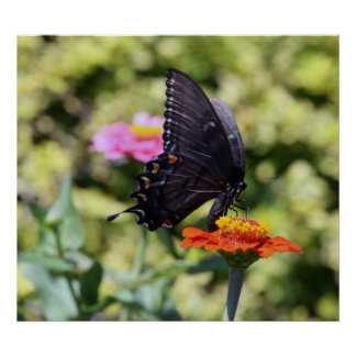 Black Swallowtail Butterfly Print