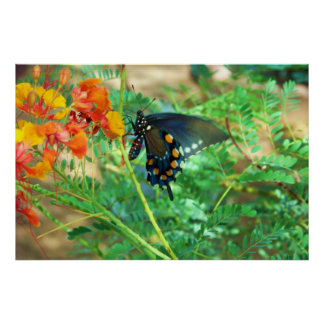 Black Swallowtail Butterfly Posters