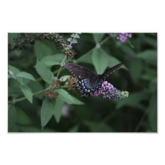 Black Swallowtail Butterfly Print Art Photo