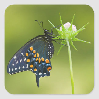 Black Swallowtail butterfly Square Sticker