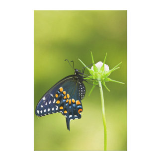 Black Swallowtail butterfly Stretched Canvas Prints