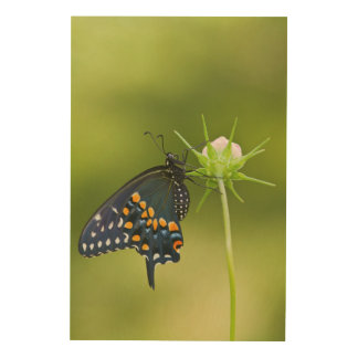 Black Swallowtail butterfly Wood Canvas