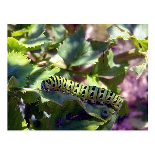 Black Swallowtail Caterpillar 1 Postcard