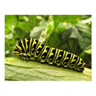 Black Swallowtail Caterpillar Post Cards