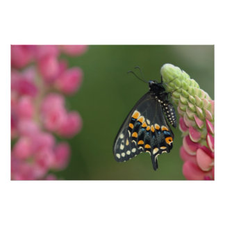 black swallowtail on lupine poster