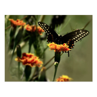 Black Swallowtail Postcard