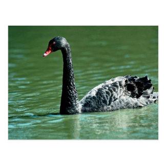 Black swan, Australia Postcard