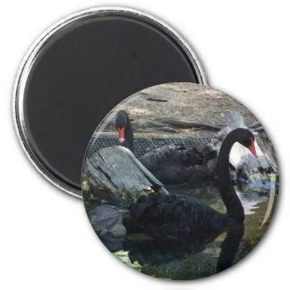 Black Swans Fridge Magnets