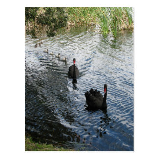Black Swans, Perth Post Card