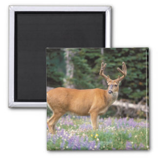 Black-tailed deer, buck eating wildflowers, square magnet