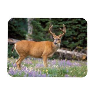 Black-tailed deer, buck eating wildflowers, rectangular photo magnet