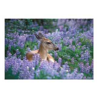 Black-tailed deer, doe resting in siky lupine, photo print