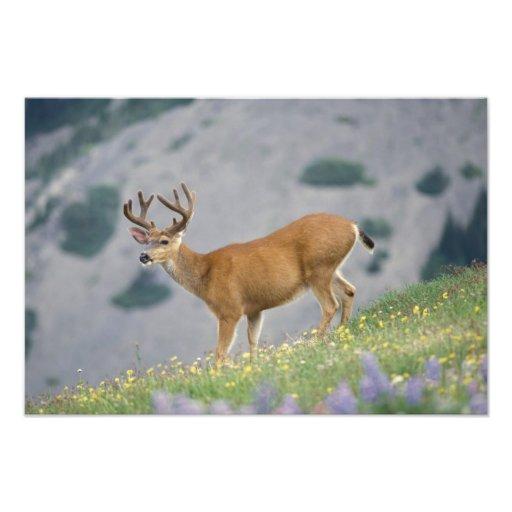 black-tailed deer, Odocoileus hemionus, buck Photograph