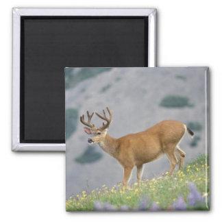 black-tailed deer, Odocoileus hemionus, buck Square Magnet