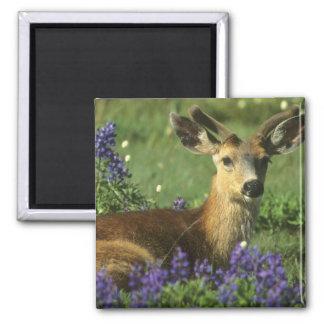 Black-tailed Deer, Odocoileus hemionus), in Square Magnet