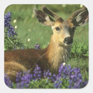 Black-tailed Deer, Odocoileus hemionus), in Square Sticker
