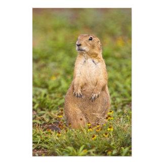 Black-tailed Prairie Dog Cynomys Art Photo